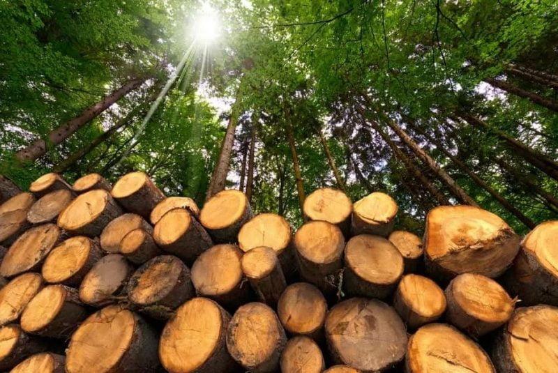 آشنایی با انواع چوب کاج