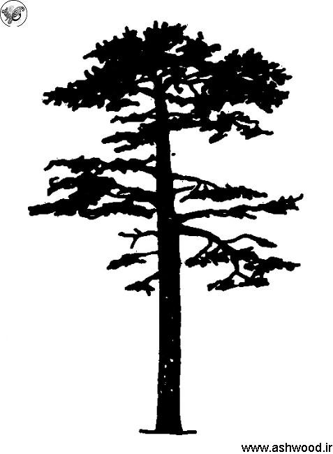 استفاده از چوب کاج روسی , کاج یولکا
