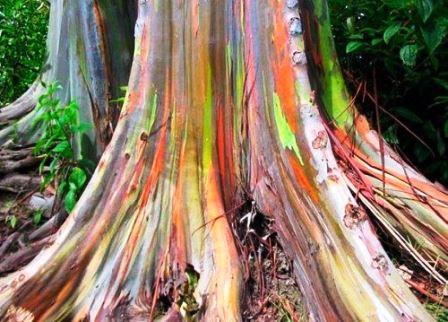 دانستنی هایی راجع به چوب درخت اکالیپتوس , انواع چوب