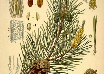 تصویر گیاه شناسی از کتاب کوهلر