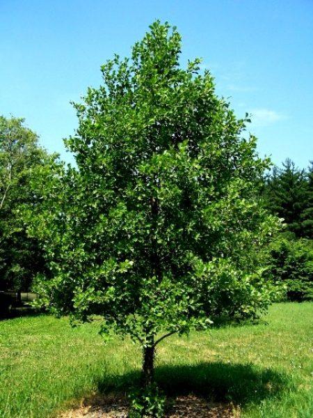 توسکای قشلاقی (سیاهتوسه) یا «توسکای سیاه اروپایی» با نام علمی Alnus glutinosa
