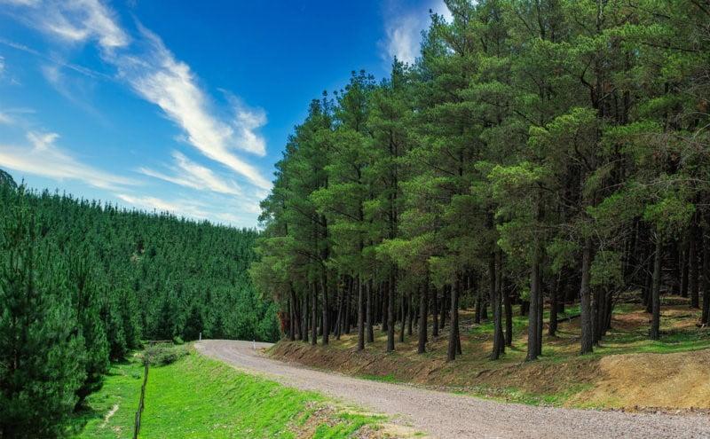 جنگل درخت کاج