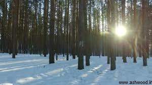 جنگل های چوب کاج در منطقه سیبری
