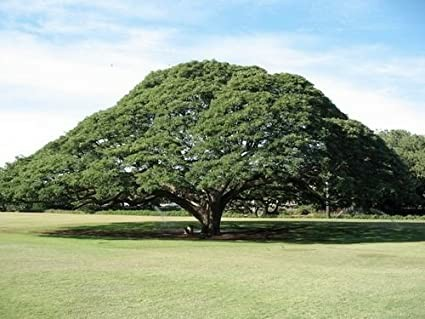 درخت باران
