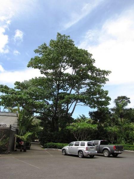 درخت بزرگ بالسا در باغ گیاه شناسی هاوایی