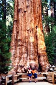 درخت سکویا عکس و تصاویر فوق العاده