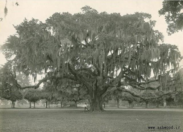 تصویر درخت بزرگ بلوط
