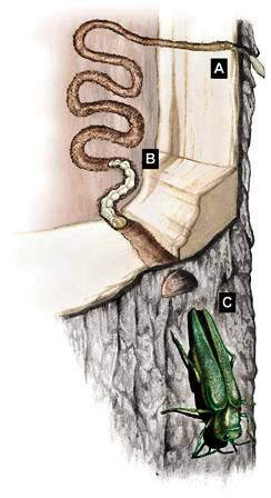 سوسک سبز با نام زمرد خاکستر ساقه خوار (Agrilus planipennis) سوسک سبز با نام زمرد خاکستر ساقه خوار (Agrilus planipennis)