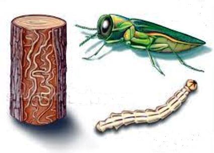 سوسک سبز با نام زمرد خاکستر ساقه خوار (Agrilus planipennis)