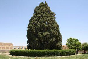 نماد درخت سرو در فرهنگ ایرانی