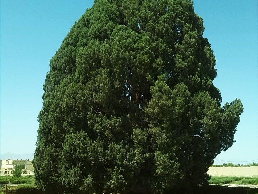 درخت سرو ؛ نماد استقامت و پایداری ایران