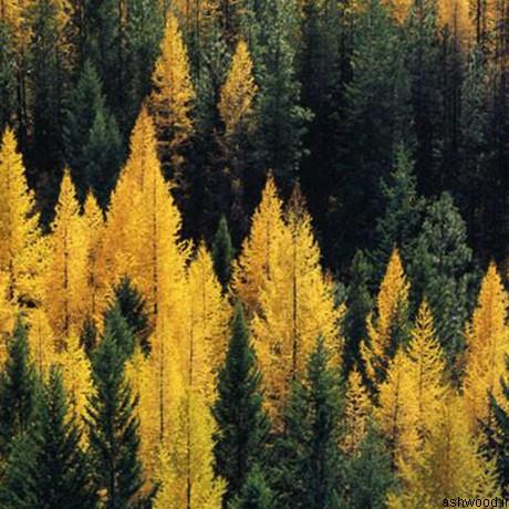 درخت کاج , اطلاعات عمومی و مشخصات فنی انواع درخت کاج