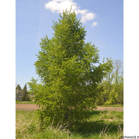 درخت کاج لارچ