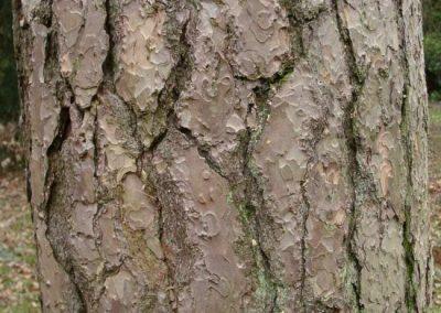پوست در یک درخت بالغ.