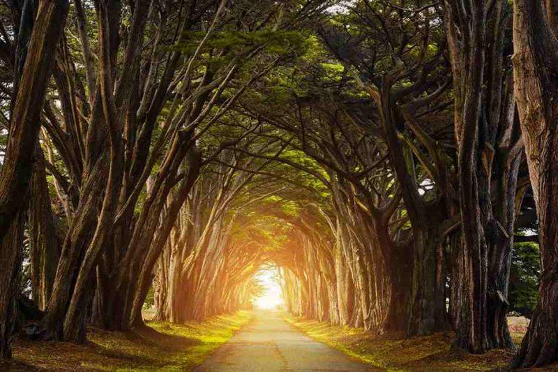 چوب درخت سرو