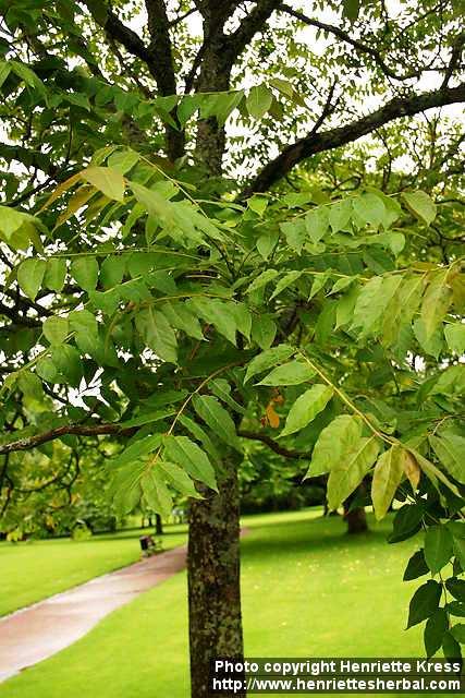 درخت عرعر