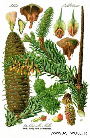 درخت کاج نقره ای