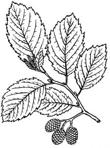 یک طراحی از برگهای توسکا به همراه میوه آن