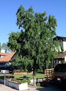 درخت عناب , شناخت چوب عناب