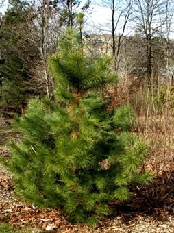 درخت چوب کاج , چوب کاج روسی , چوب روسی دکوراسیون