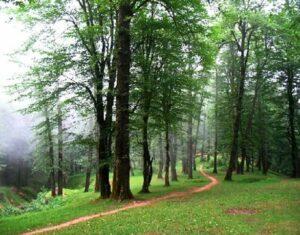 جنگل و درختان چوب ممرز
