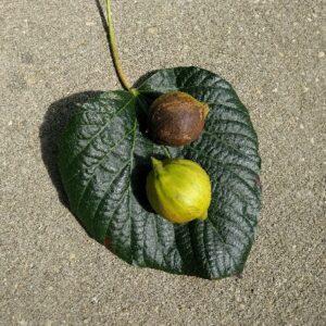 برگ و میوه درخت تونگ