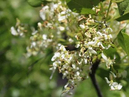 چوب درخت زبان گنجشک- درخت زبان گنجشک کالیفرنیایی