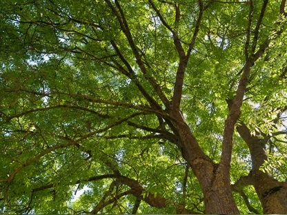 چوب درخت زبان گنجشک- درخت زبان گنجشک اروپایی