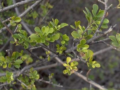 چوب درخت زبان گنجشک- درخت زبان گنجشک مکزیکی