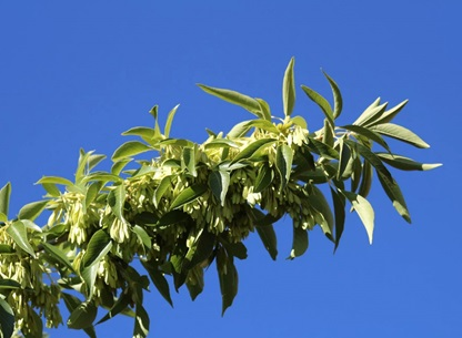 چوب درخت زبان گنجشک- درخت زبان گنجشک مخملی