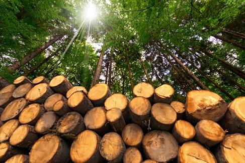 چوب کاج- تنه های بریده شده ی درخت کاج قند