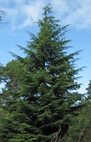 چوب درخت شوکران-درخت شوکران غربی
