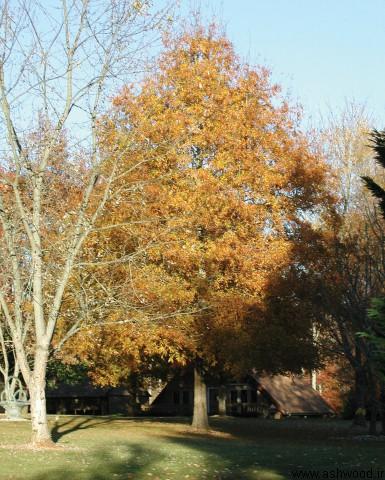 درخت بلوط , چوب بلوط , ویژگی های چوب بلوط