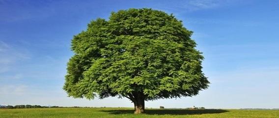 نمونه ای از درخت راش