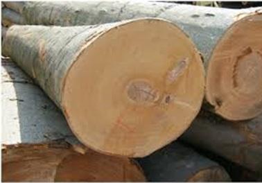 تنه درخت چوب راش