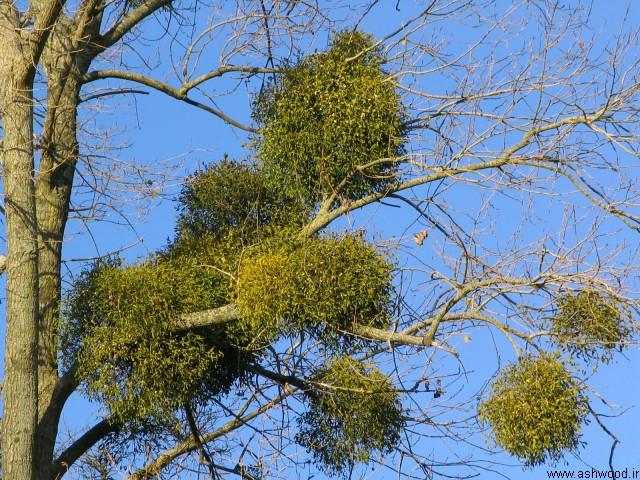 درخت بلوط , چوب بلوط