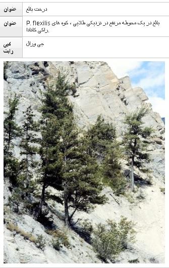 فلکسلیس Pinus  (کاج کمربند)