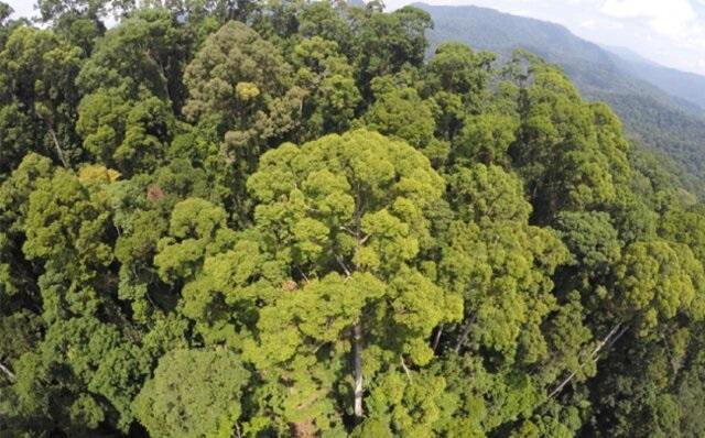 بلندترین درخت گرمسیری جهان با ۱۰۰ متر ارتفاع کشف شد