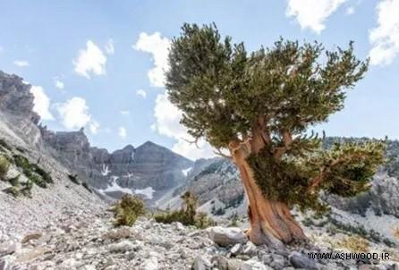 همه چیز درباره ی کاشت و رشد انواع درخت کاج