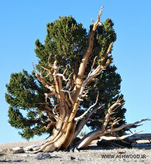 درخت کاج , کاشت درخت کاج , چوب کاج