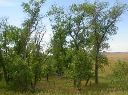 درخت زبان گنجشک سبز