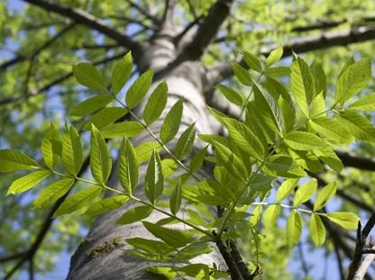 چوب درخت زبان گنجشک- درخت زبان گنجشک آبی