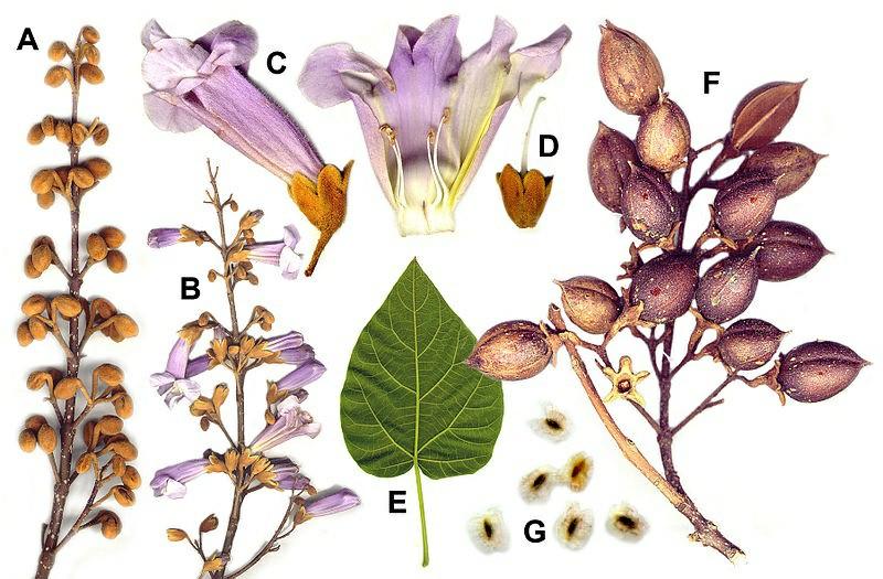 پالونیا , ساقه گل و پوست درخت پالونیا