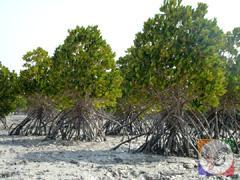منطقه طبیعی و بکر جنگل های حرا در جزیره قشم، عکس از آنوبانینی