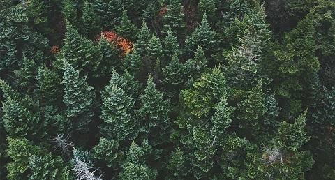 چوب درخت کاج