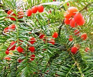یاقوت سرخ جنگلهای شمال درخت سرخدار