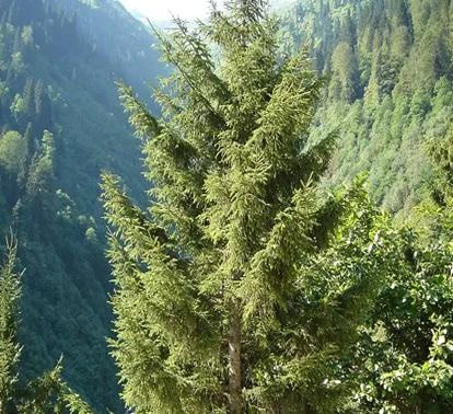 درخت کاج نوئل قفقازی