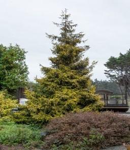 درخت کاج نوئل شرقی