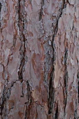 پوست درخت کاج