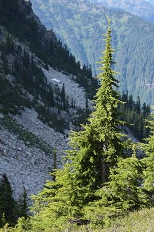 چوب درخت شوکران- چوب درخت شوکران کوهی